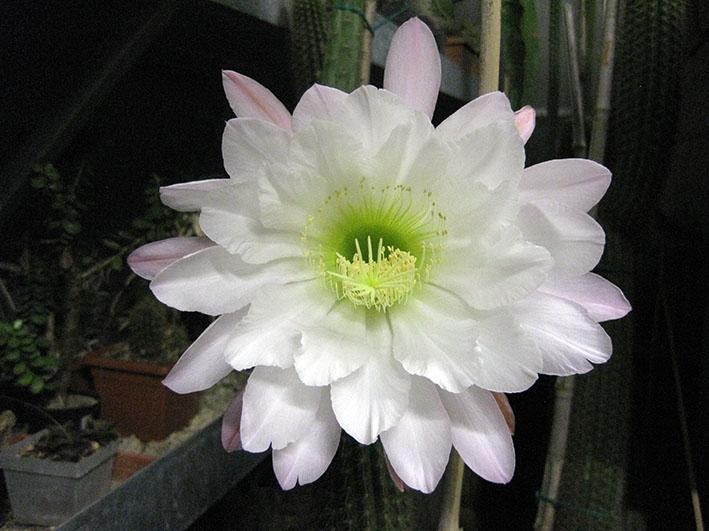 Trichocereus spachianus 50 cm, cactus, pianta grassa